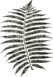 fern forest leaf pattern ecology nature plant