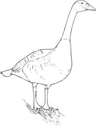 animal goose bird