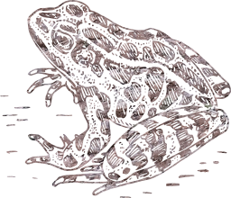 frog toad natural sitting isolated drawing amphibian grey wildlife